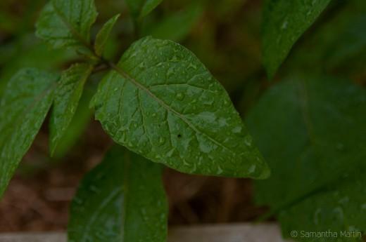 Backyard Leaves