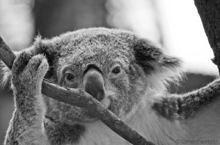 Koala – Black and White