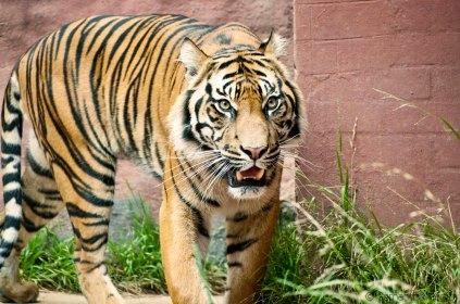 Active Tiger