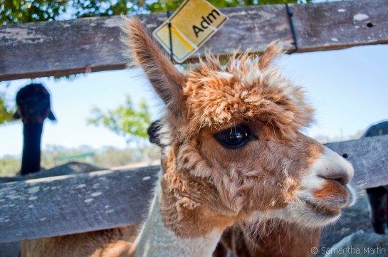 Adorable alpaca