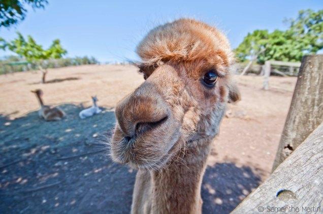 Best alpaca